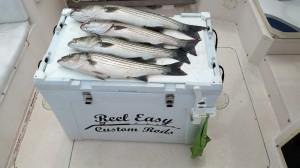 Newburyport Fishing, Striped bass